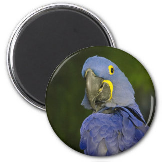 Hyacinth Macaw Magnet