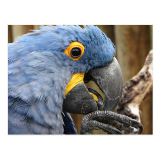 Hyacinth Macaw Parrot Postcard