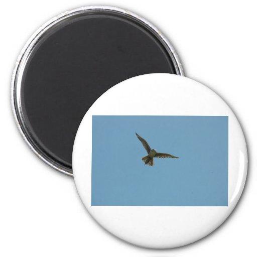 hybrid falcon magnet