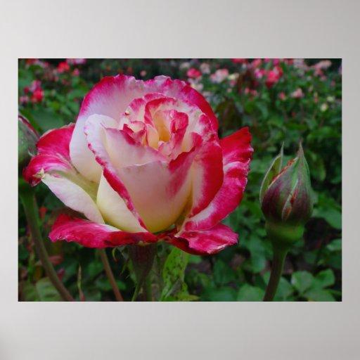 Hybrid Tea Rose Double Delight Poster