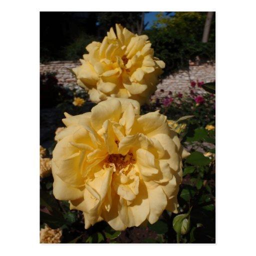 Hybrid Tea Rose Landora Postcards