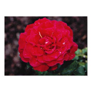 Hybrid Tea Rose 'Mister Lincoln' White flowers Card