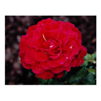 Hybrid Tea Rose 'Mister Lincoln' White flowers Postcard