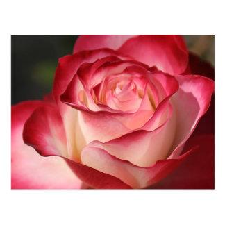 Hybrid Tea Rose Postcard