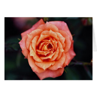 Hybrid Tea Rose Roses Greeting Cards