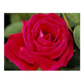 Hybrid Tea Rose Roses Post Cards