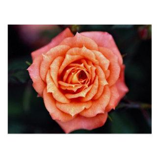 Hybrid Tea Rose Roses Postcards