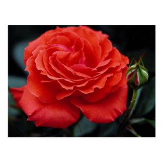 Hybrid Tea Rose Roses Postcard