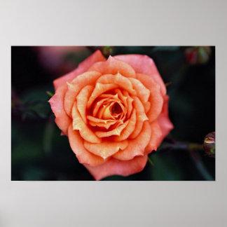 Hybrid Tea Rose Roses Poster