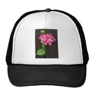 hydrangeas in bloom cap