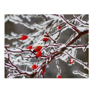 Ice covered rose hips postcard