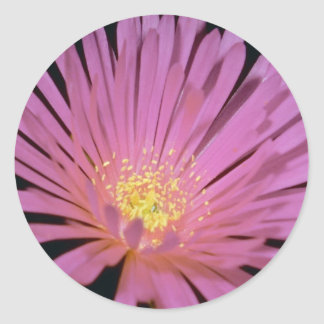 Ice plant (Lampranthus glomeratus) flowers Sticker