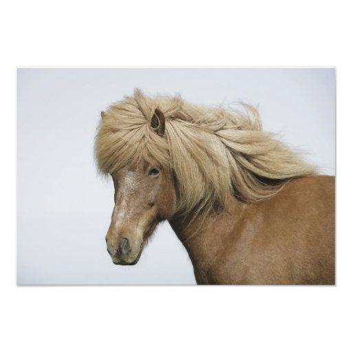 Iceland. Portrait of an Icelandic horse. Art Photo