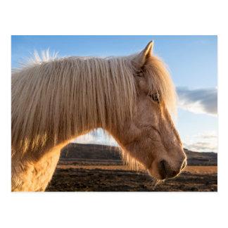 Iceland. Portrait Of Icelandic Horse Postcard