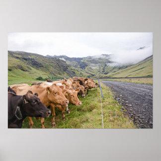 Icelandic Cows Poster