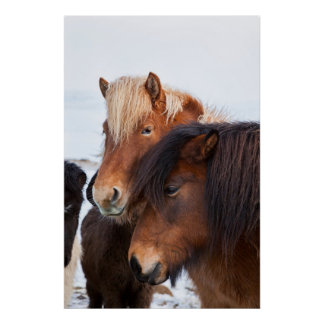 Icelandic Horse during winter on Iceland 3 Poster
