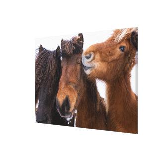 Icelandic Horse friends, Iceland Canvas Print