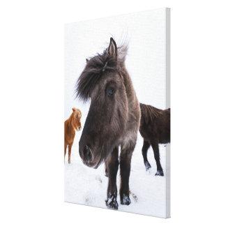 Icelandic Horse portrait, Iceland Canvas Print
