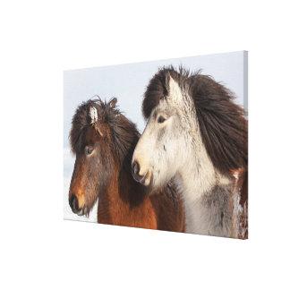 Icelandic Horse profile, Iceland Canvas Print