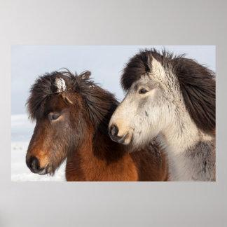Icelandic Horse profile, Iceland Poster