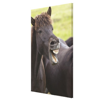 Icelandic horse with funny expression stretched canvas prints