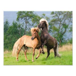 Icelandic Horses Funny Playing Rearing  Paperprint Photo Print