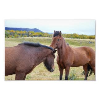 Icelandic Horses Greet Each Other Photo Print