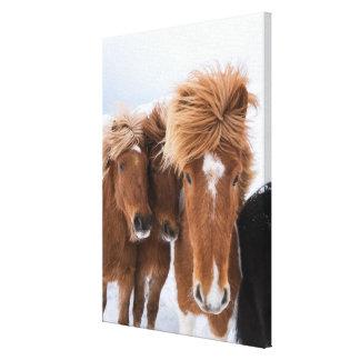 Icelandic Horses nuzzle, Iceland Canvas Print