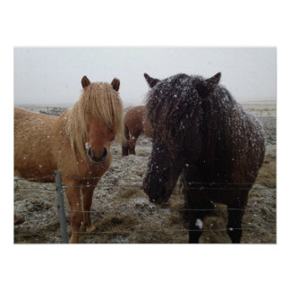 Icelandic Ponies, Iceland horses in snow poster