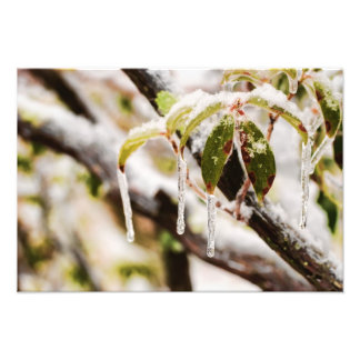 Icicles on Mountain Laurel Leaves Photo Art