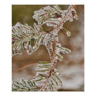 Icy Pine Needles Poster