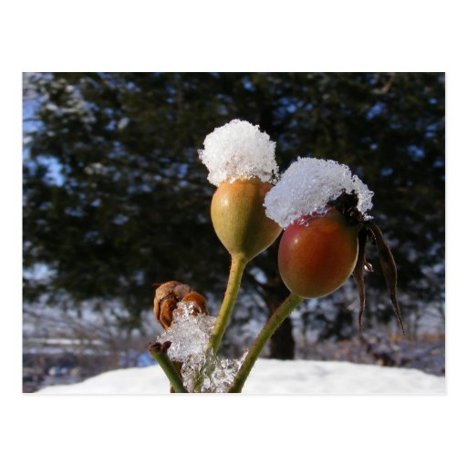 Icy Rose Hips ~ postcard