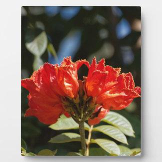 iFlowers of an African tuliptree Plaque