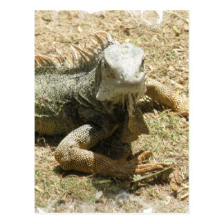 Iguana Lizard Postcard