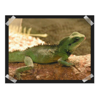 Iguana Photos Postcard