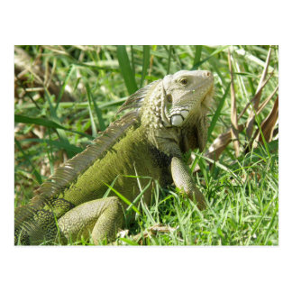 Iguana  Puerto Rico Postcard