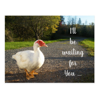 I'll Be Waiting for You White Muscovy Duck Postcard