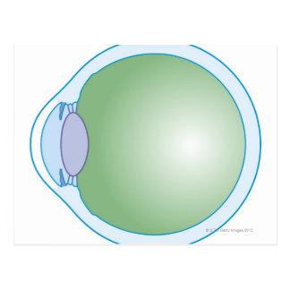 Illustration of Human Eye Postcard