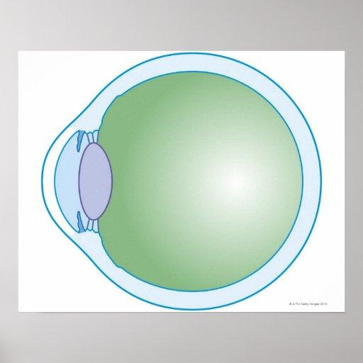 Illustration of Human Eye Poster