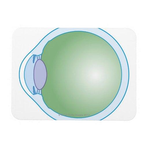 Illustration of Human Eye Rectangular Magnet