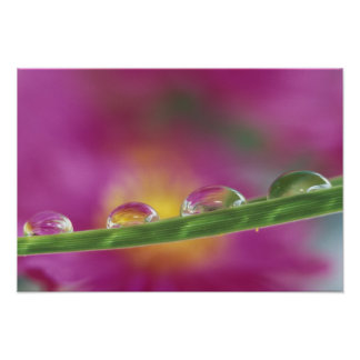 Image of asters formed in water droplets poster