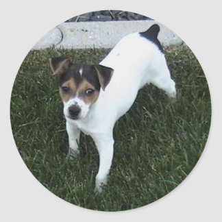 IMG_1349.JPG Adorable Jack Russell puppy dog Classic Round Sticker