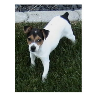 IMG_1349.JPG Adorable Jack Russell puppy dog Postcard
