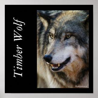 IMGP5247timberwolf, Timber Wolf, © gilbertstets... Posters