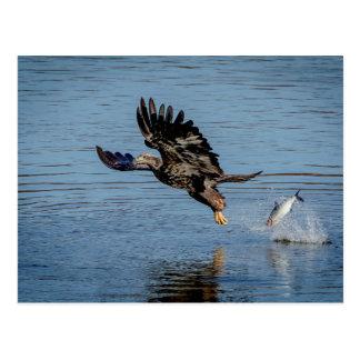 Immature Bald Eagle dropping a fish Postcard