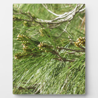 Immature male or pollen cones of pine tree plaque