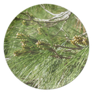 Immature male or pollen cones of pine tree plate
