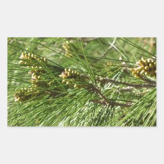 Immature male or pollen cones of pine tree rectangular sticker