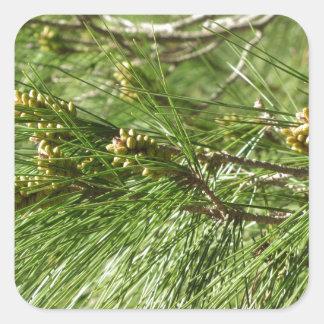 Immature male or pollen cones of pine tree square sticker