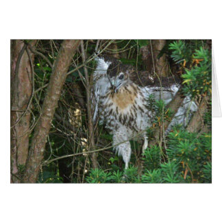 Immature Red Tailed Hawk Coordinating Items Greeting Card
